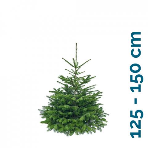 Nordmanntanne 125 - 150 cm